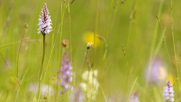 In June the banks are carpeted in common spotted orchids