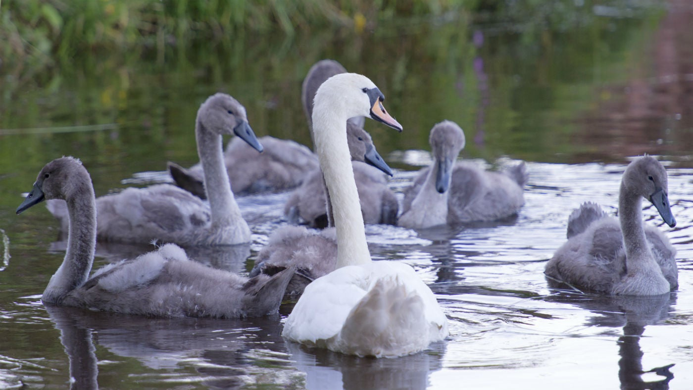 A swan and cygnets swimming in the lake