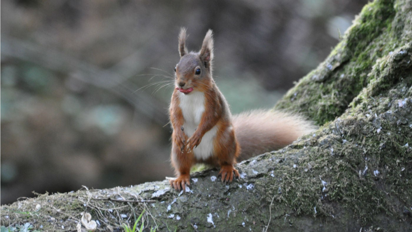 A red squirrel standing on a tree trunk with a nut in its mouth