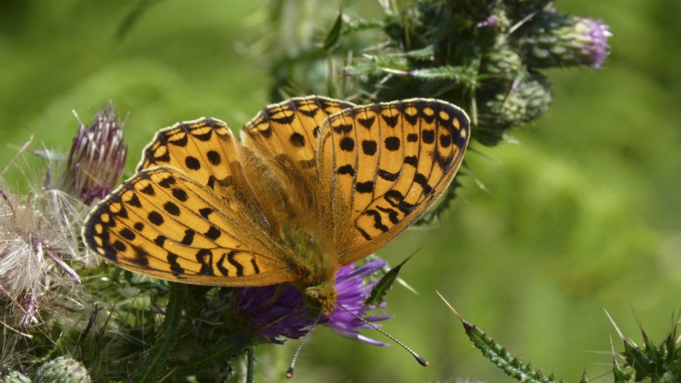 A dark green fritillary butterfly warms its wings on a thistle