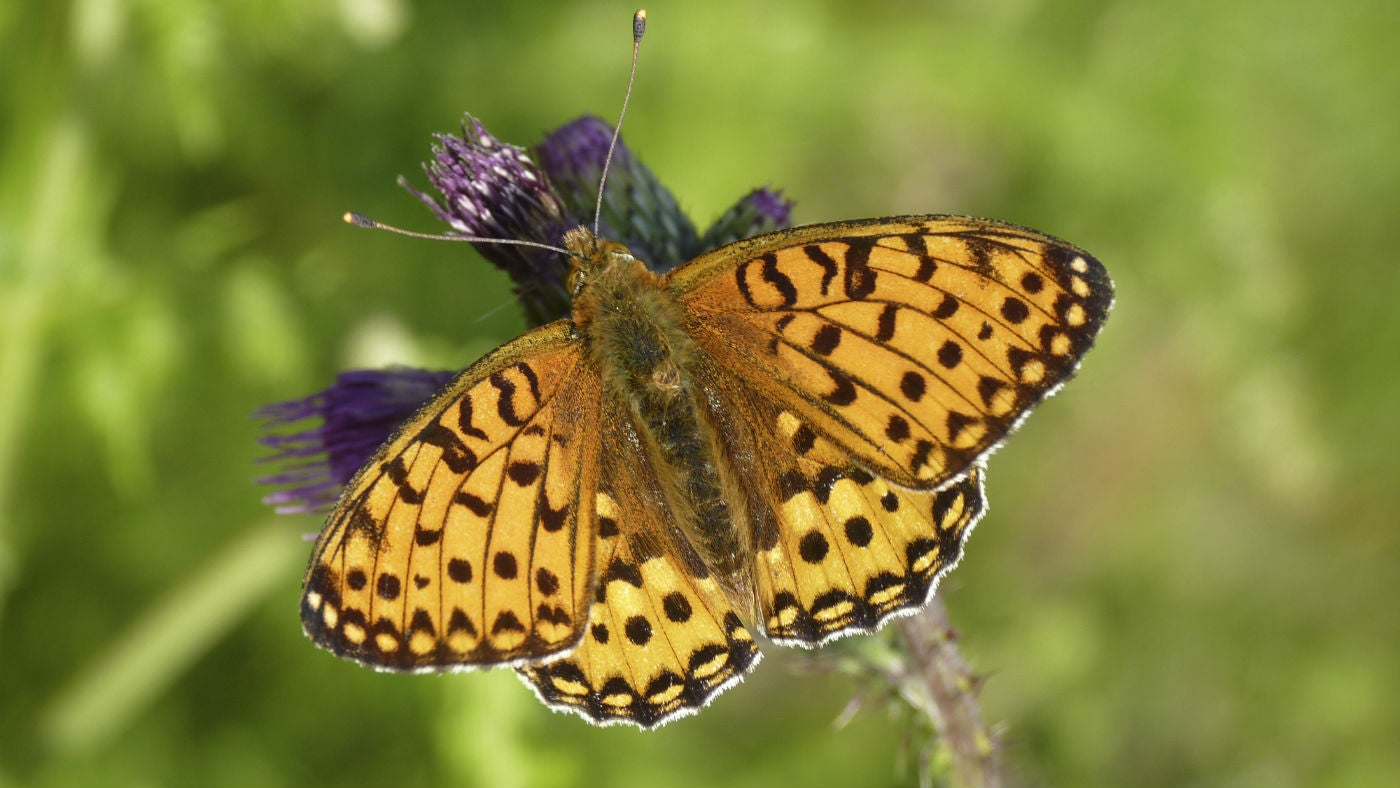 Dark green fritillary male on thistle Heddon Valley