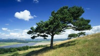 Scotts pines overlooking wildflowers in meadows & the River Kent's estuarial zone at Arnside Knott, Cumbria
