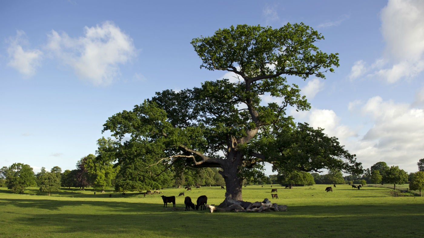 Large tree in a green open space with balck cows grazing underneath