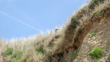 A bird soars over the cliffs at Godrevy, Cornwall