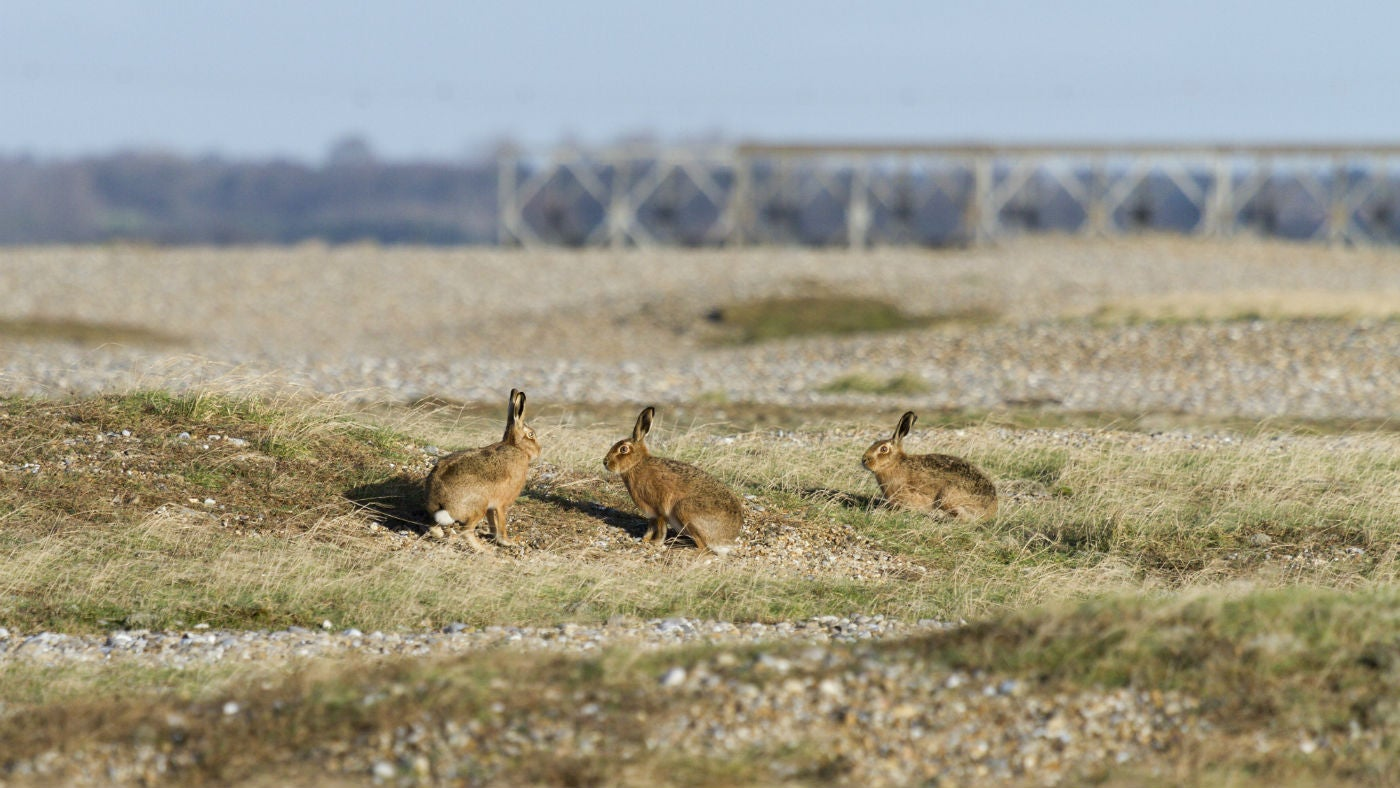 Orford Ness hares playing on the shingle
