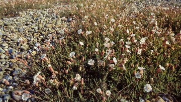 Sea campion growing on shingle ridges at Orford Ness