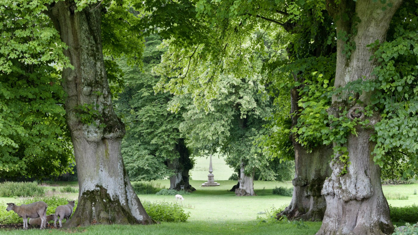 The ancient avenue of lime trees at Hinton Ampner