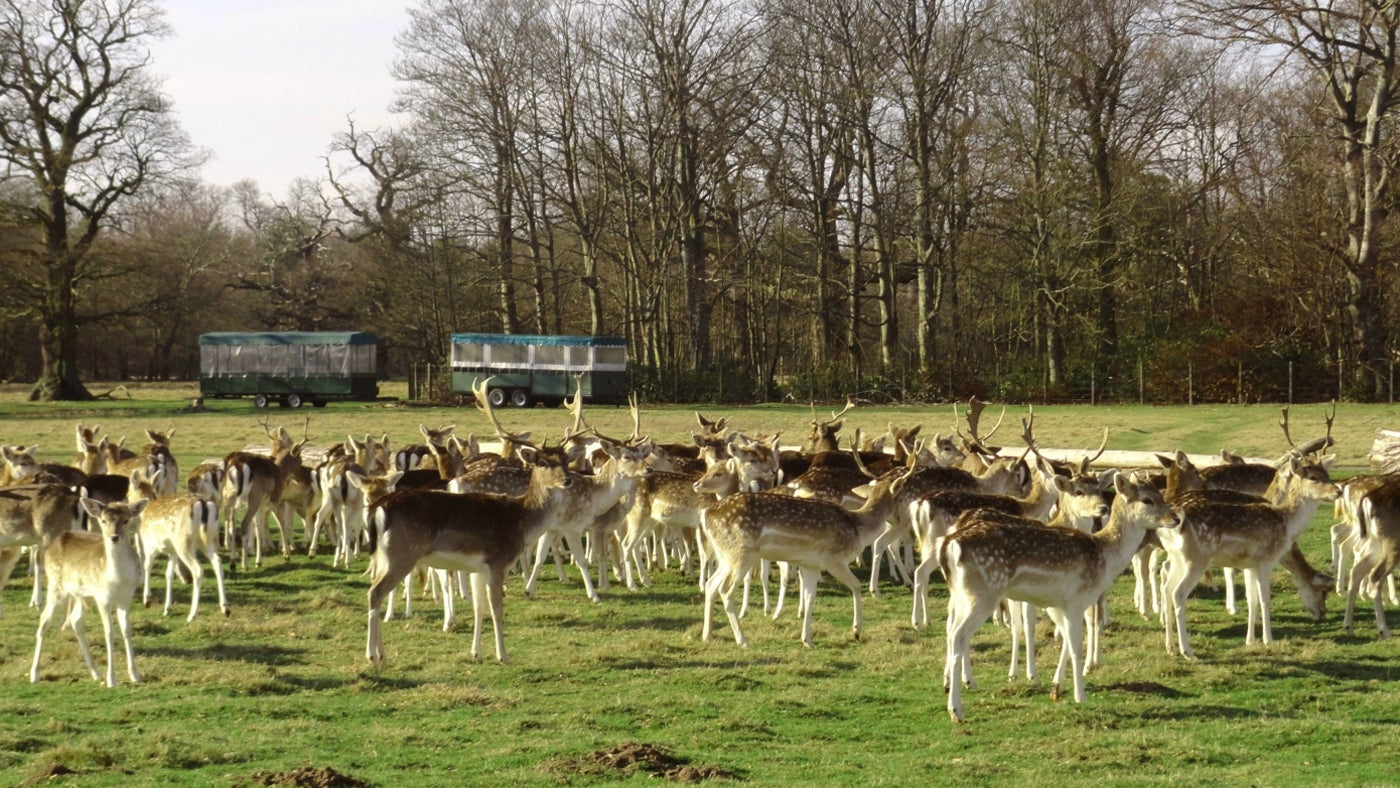 The Attingham deer, descended from the original herd brought to Attingham in the late 1700s