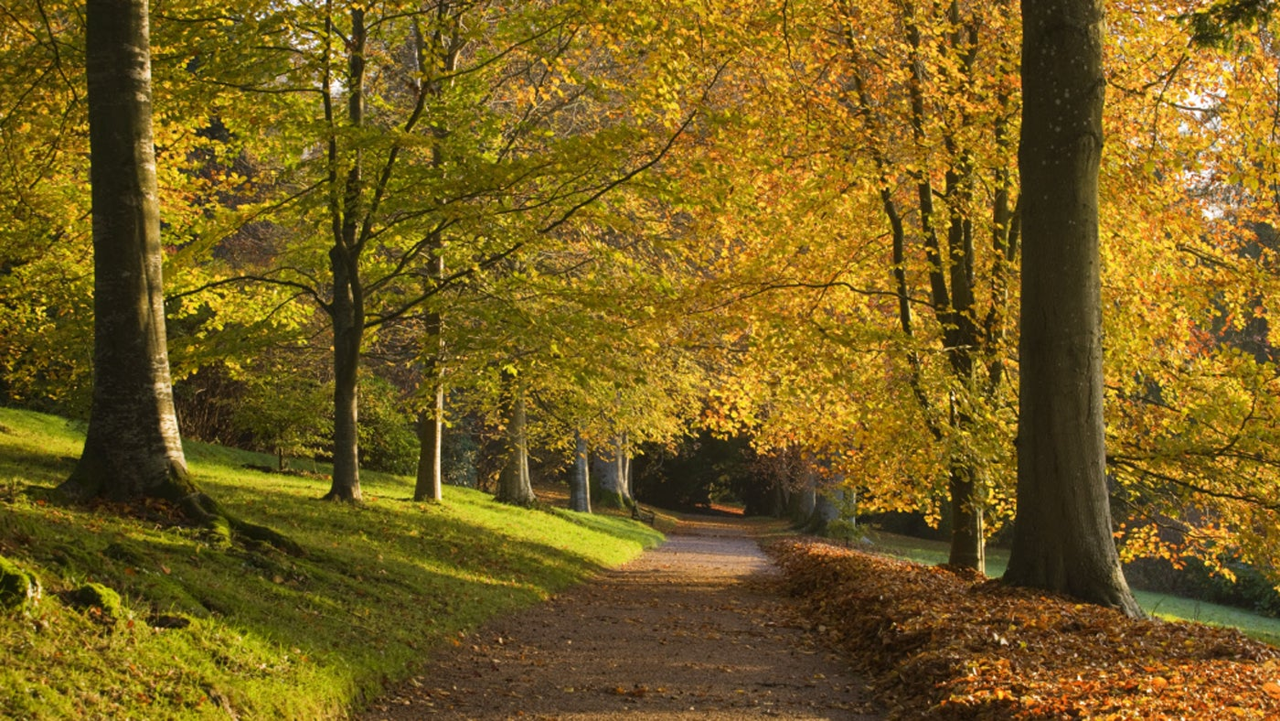 Beech Walk, killerton