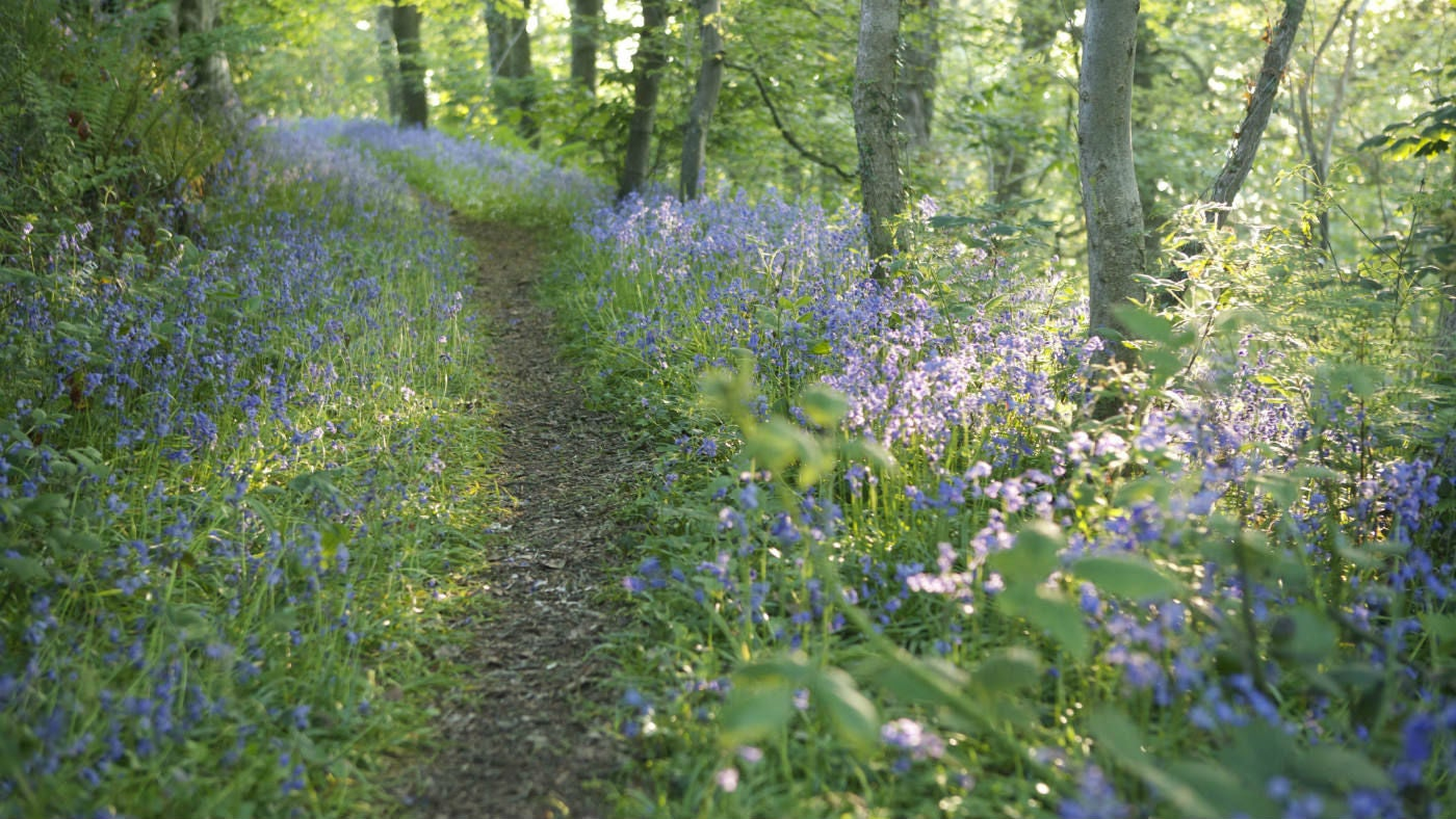 Bluebells line the pathways through Wembury Woods