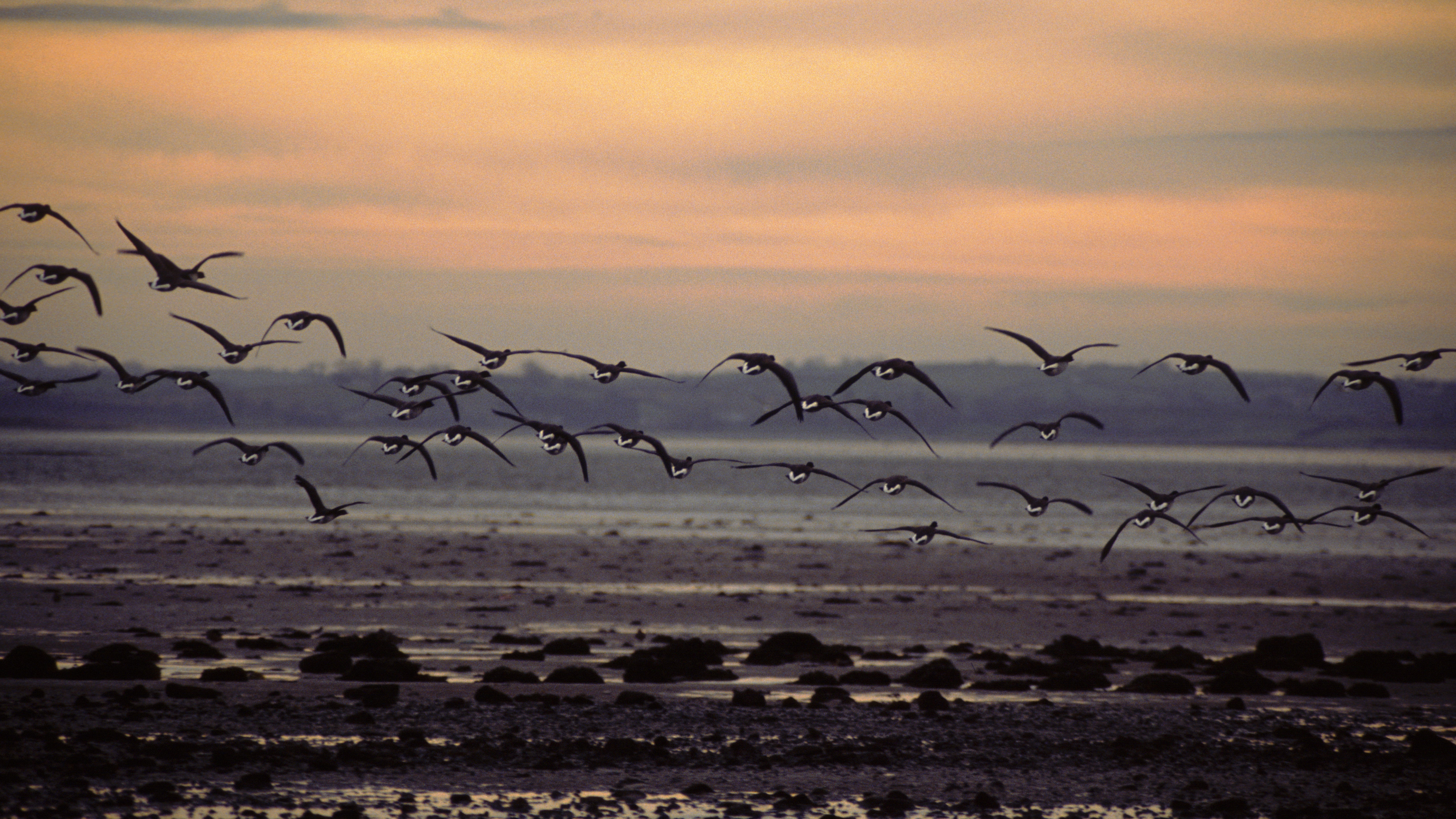 Brent geese over Strangford Lough, County Down, Northern Ireland