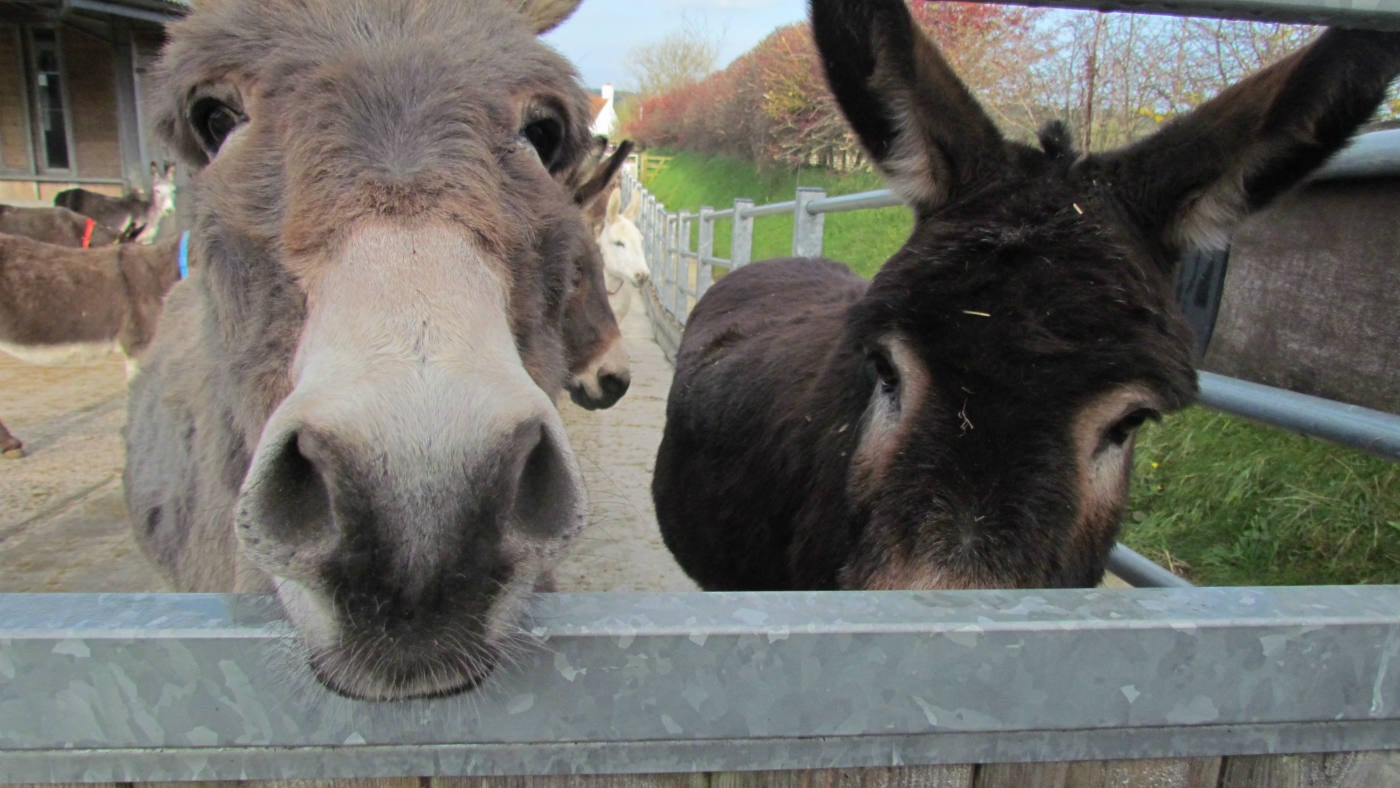 Donkeys looking through gate at the Donkey Sanctuary in Branscombe
