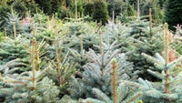 Christmas tree sales at Ilam Park and Longshaw