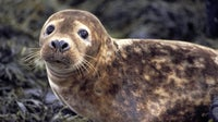Close up of a young, female, grey seal