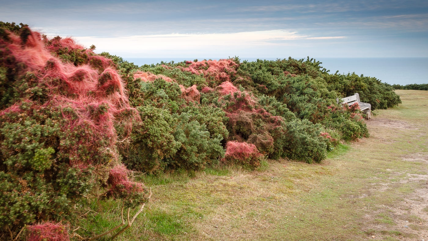 Bright pink dodder on gorse bushes on Incleborough Hill