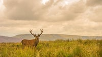 Red deer stag at Lyme, Cheshire in early autumn