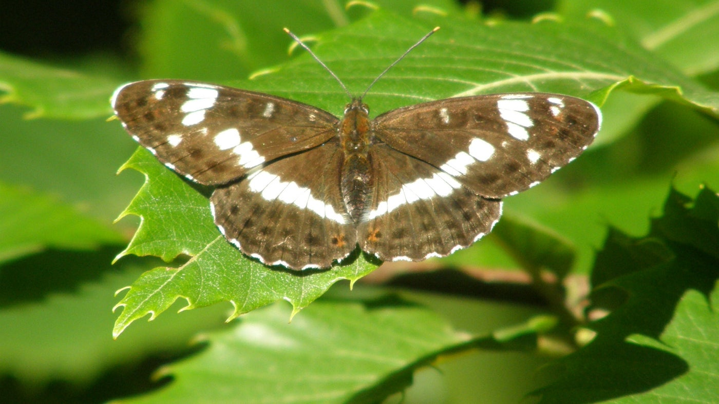 A white admiral butterfly
