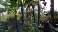 banana plants at overbeck's in Salcombe, South Devon