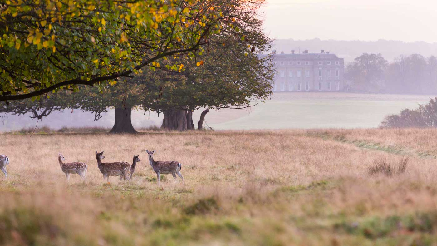 Petworth House and Park deer