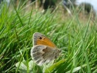 Small heath butterfly at The Chase, Hampshire