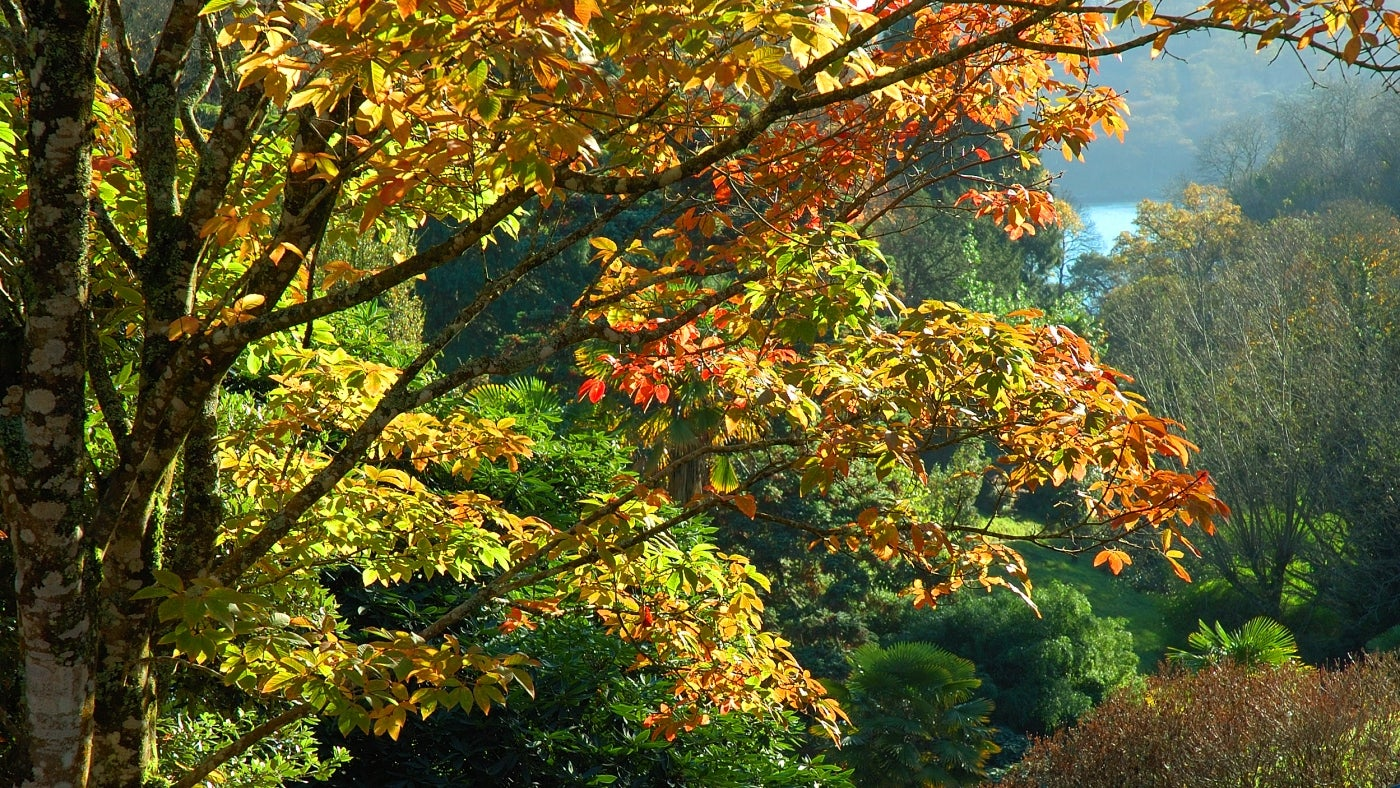 A view through trees with changing autumn leaf colour to the Helford River in Cornwall