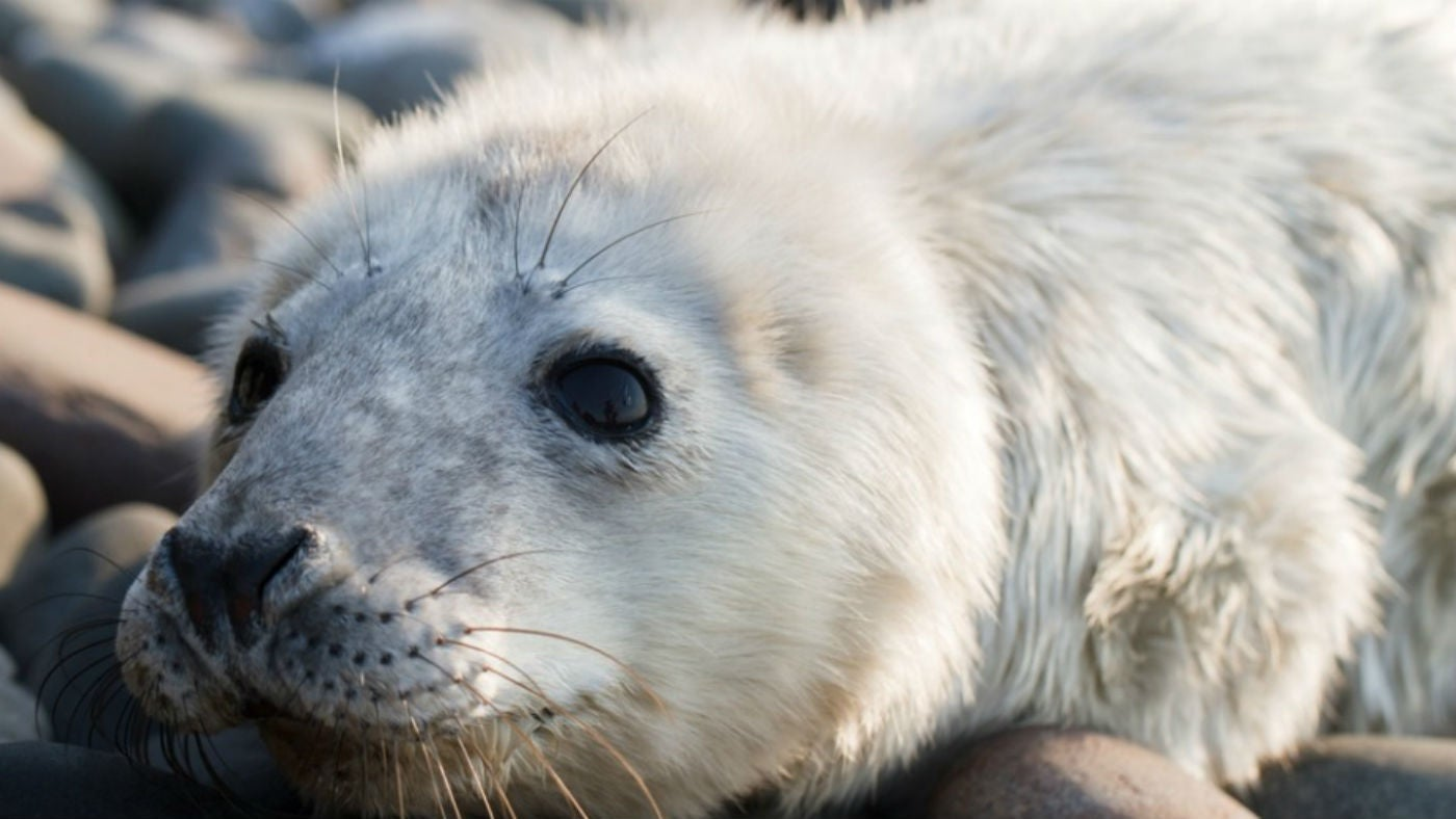 Seal pups thrive on the Farne Islands