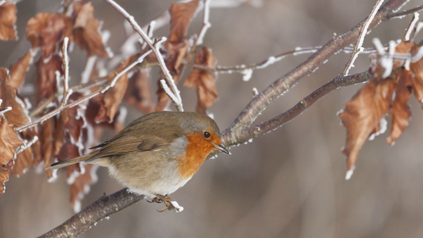 A robin in the snow