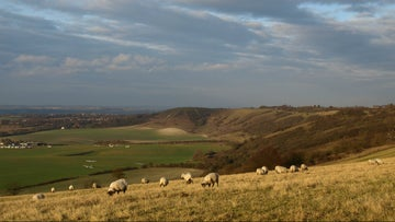 Sheep grazing on the slopes of Dunstable Downs