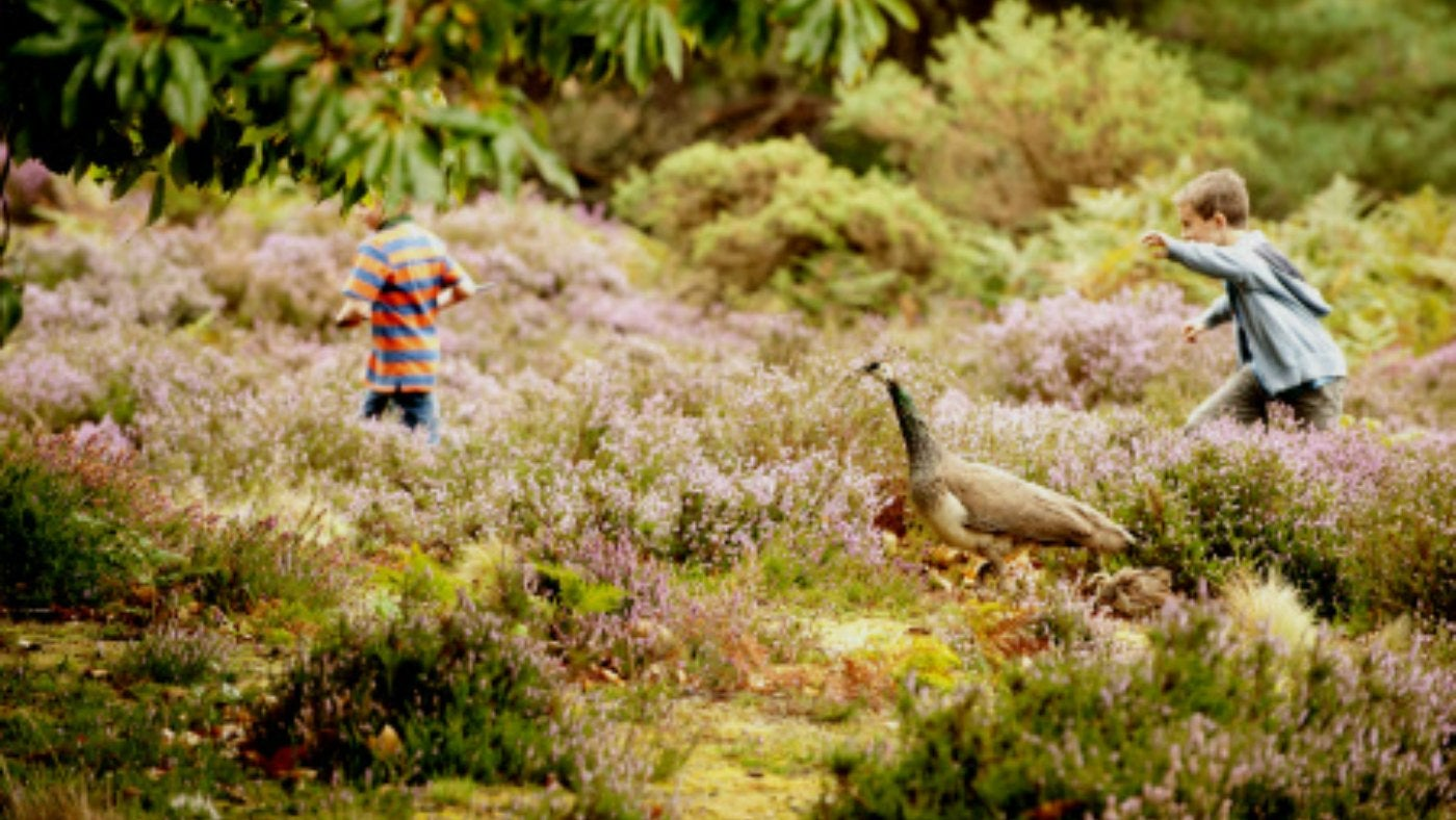 Children and peahen walking in heather