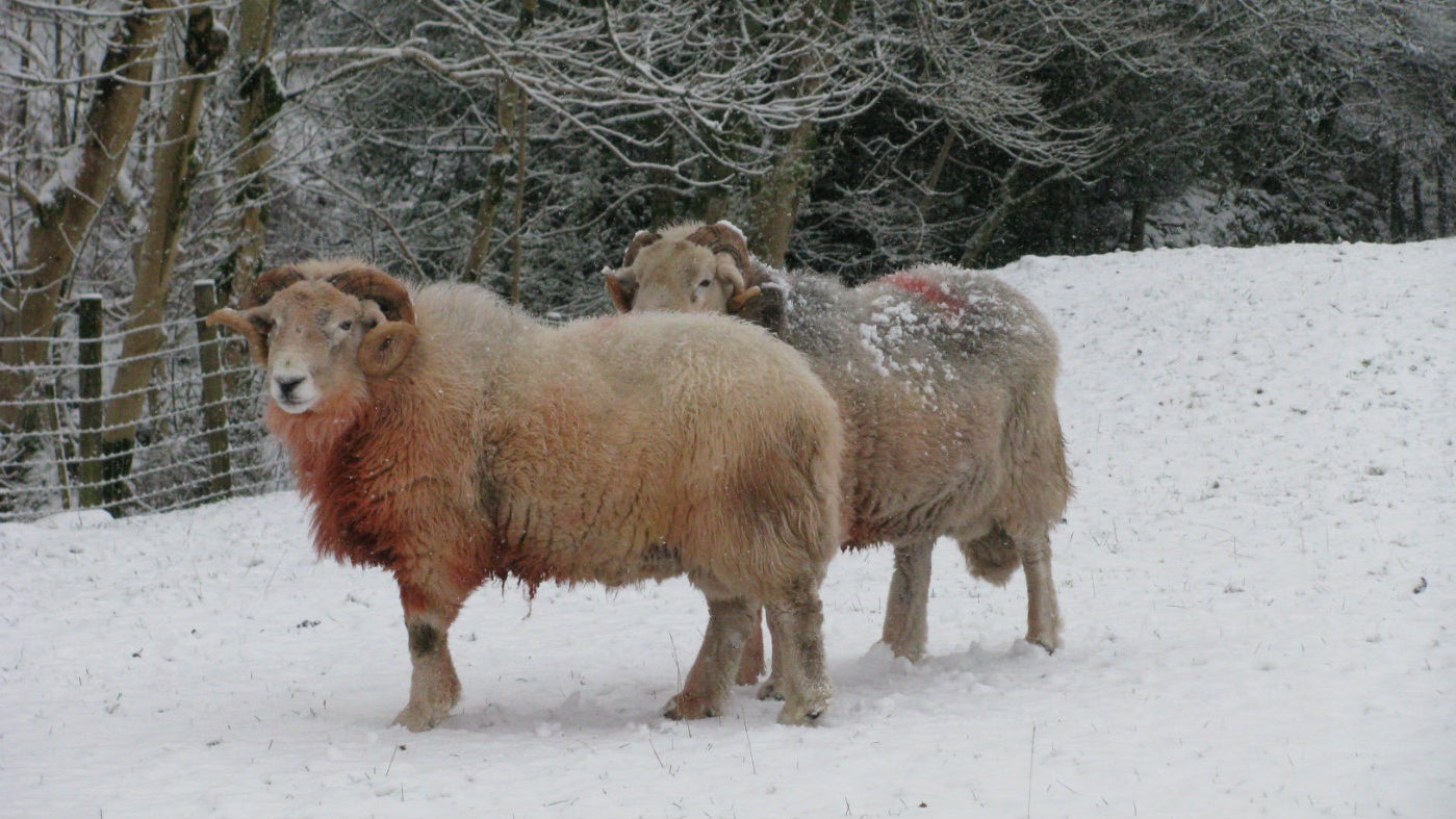 2 Herdwick tups in winter, Seatoller, Lake District