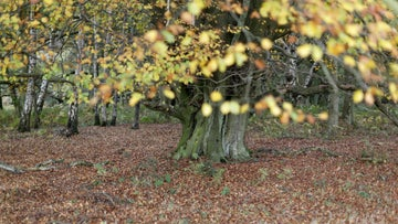 Beech trees in the autumn
