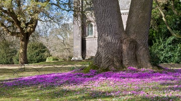 See a stunning carpet of cyclamen beside the Acland chapel.