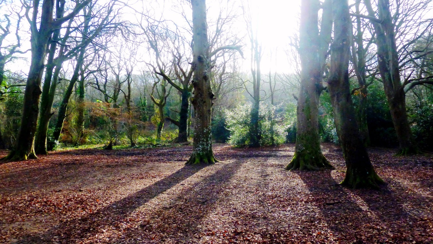 Sunlight shines round the leafless beech trees in Borthwood Copse on the Isle of Wight