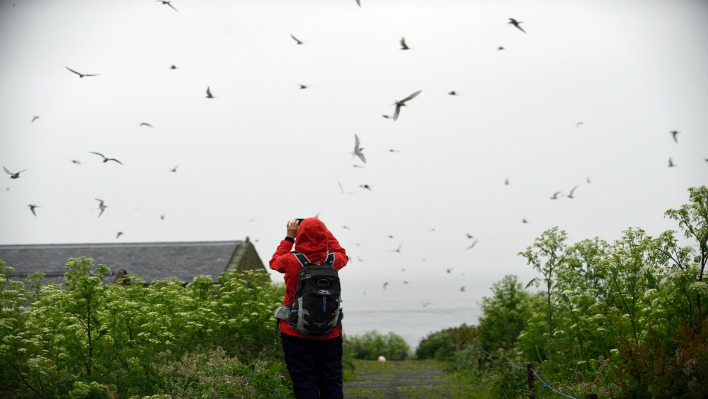 A visitor taking photographs of terns on the Farne Islands
