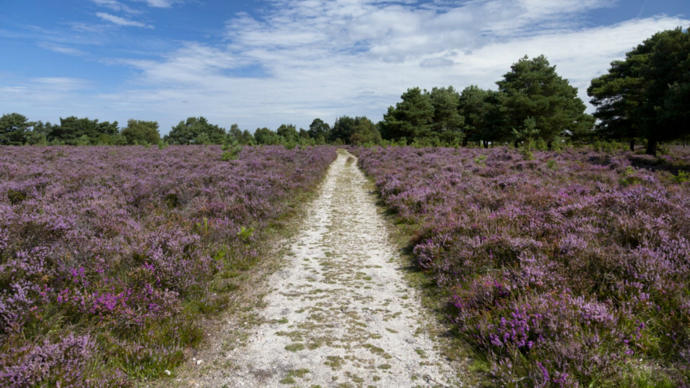 Path cutting through heathland in the New Forest