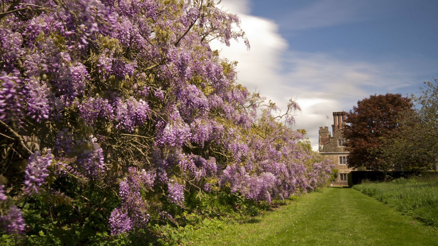 The wisteria at Knole