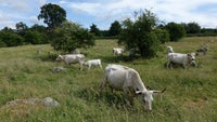 White Park Cattle in Lockeridge Dene