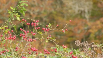 Rose hips along Heron Drove on the Kingston Lacy estate