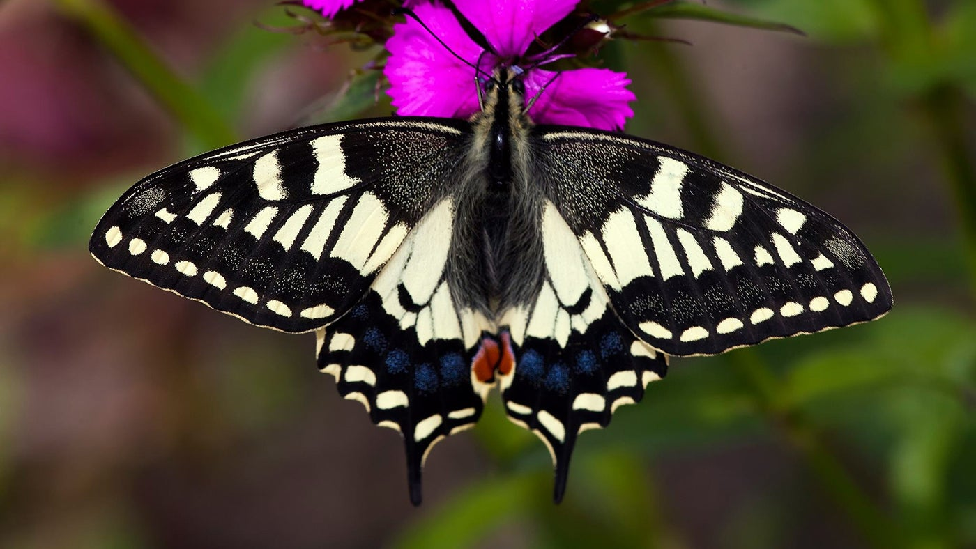 the beautiful black and yellow swallowtail butterfly