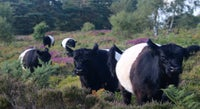 Heathland in bloom on Black Down with grazing belted galloway cows