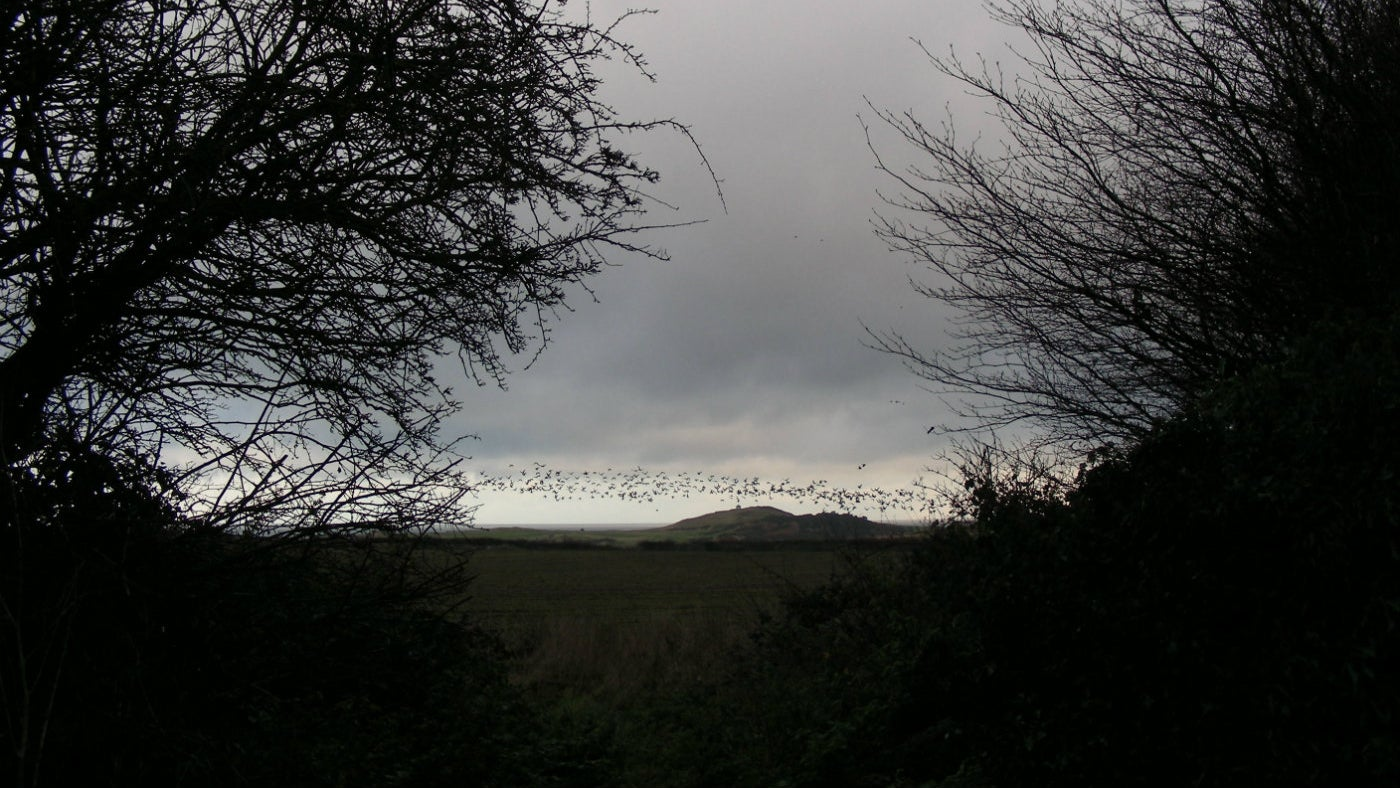 Pink-footed geese flying at Sheringham Park