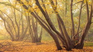Trees in autumn at Hatfield Forest
