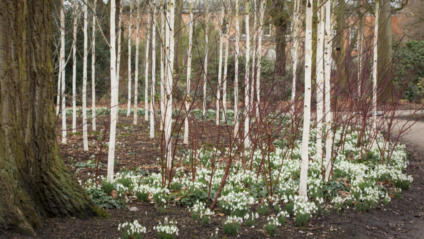Silver Birch trees and snowsrops in the Winter Garden at Dunham Massey