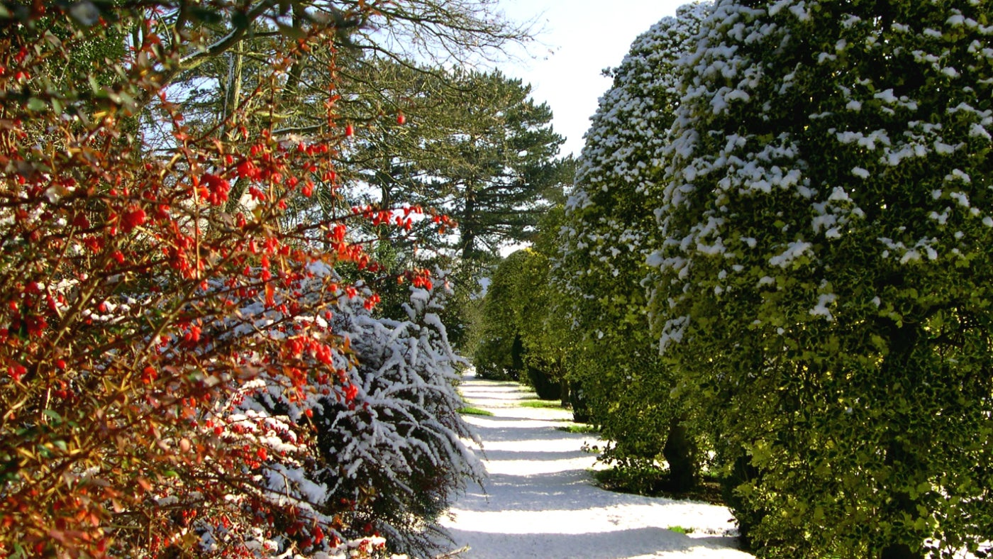Berberis by the yew and holly walk at Wightwick Manor
