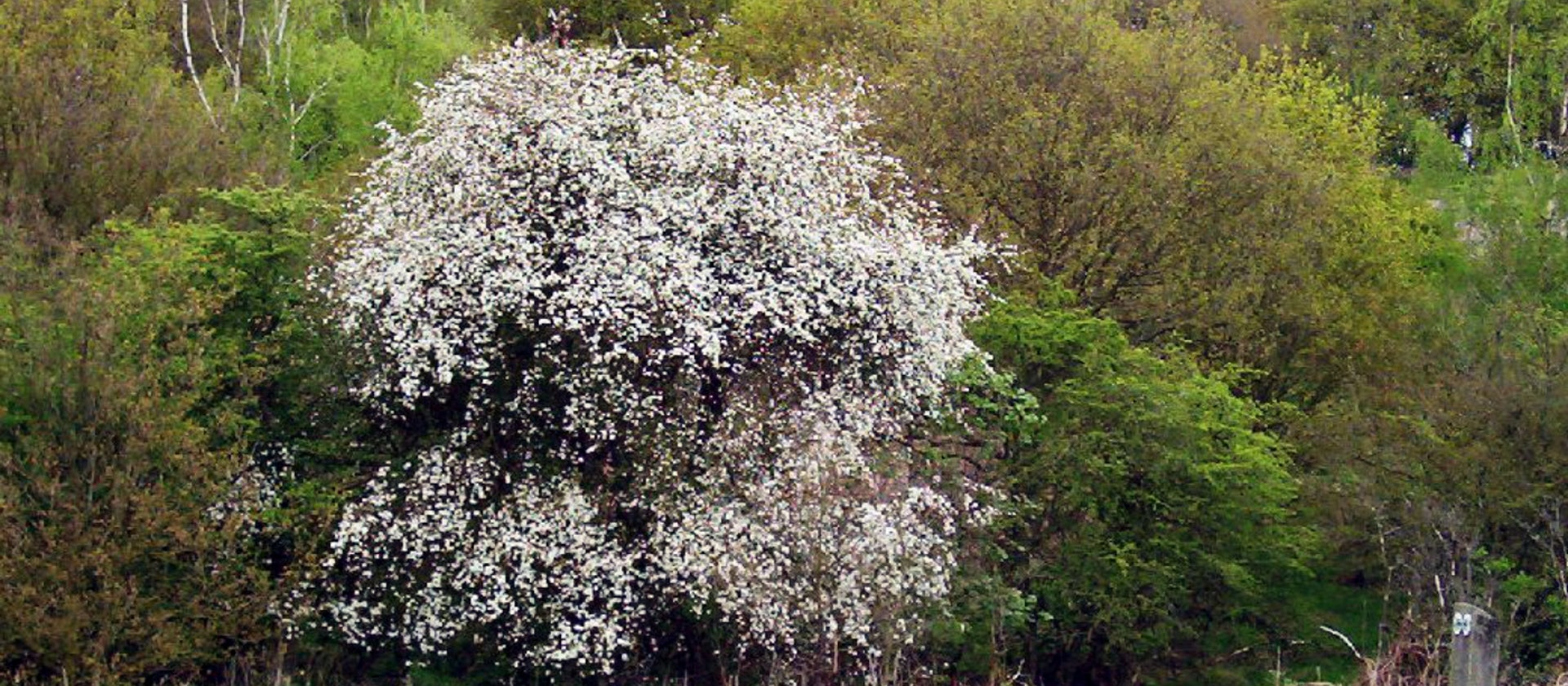 How to identify spring blossom | National Trust