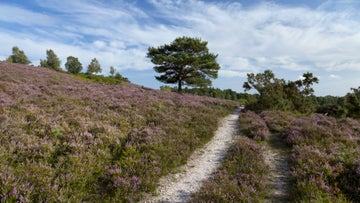 Heather at Hale Purlieu Common, New Forest, Hampshire