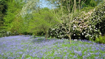 A carpet of bluebells in the grounds of Wightwick Manor