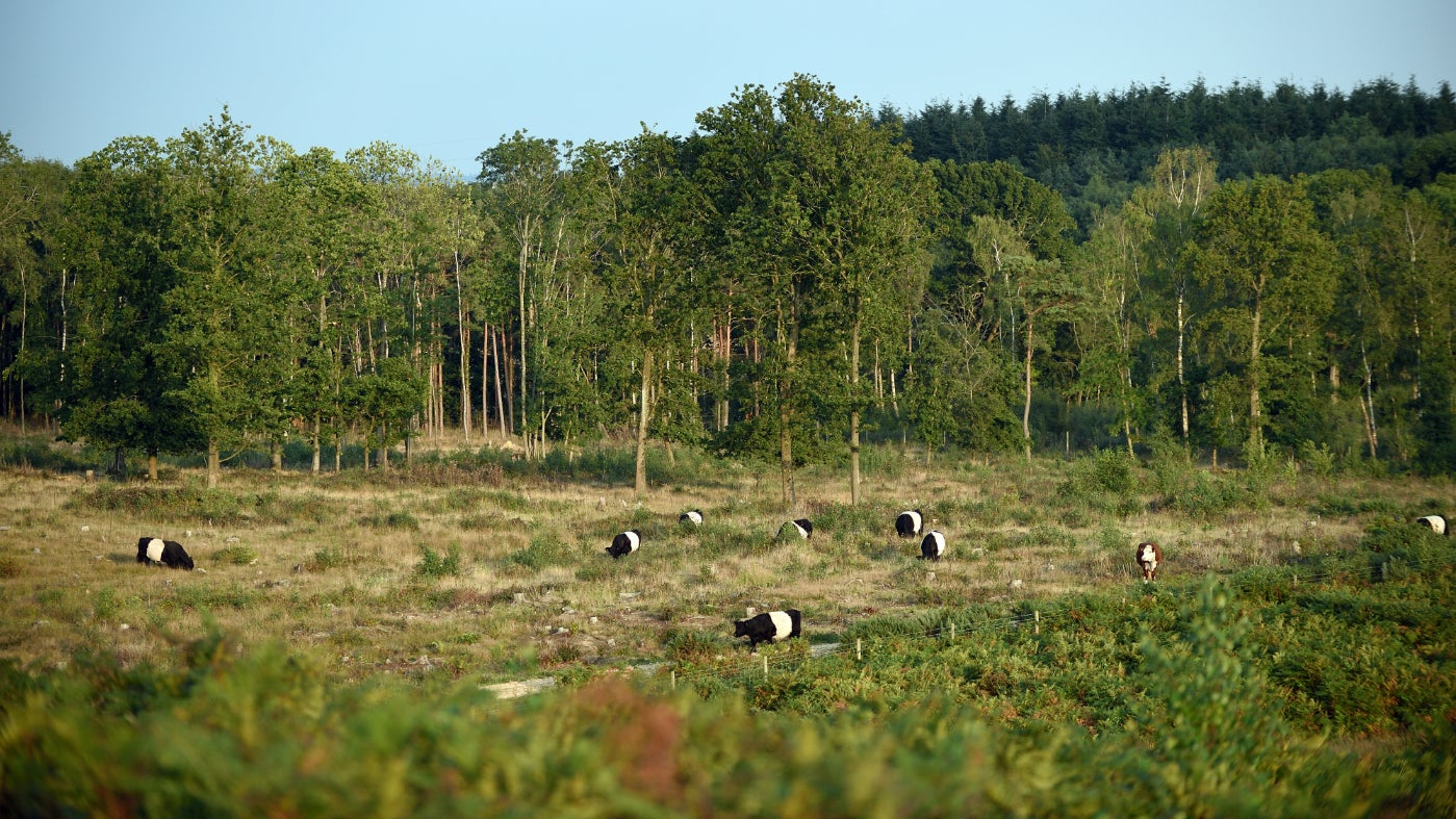 Belted Galloway cattle grazing at Foxbury in the New Forest, Hampshire