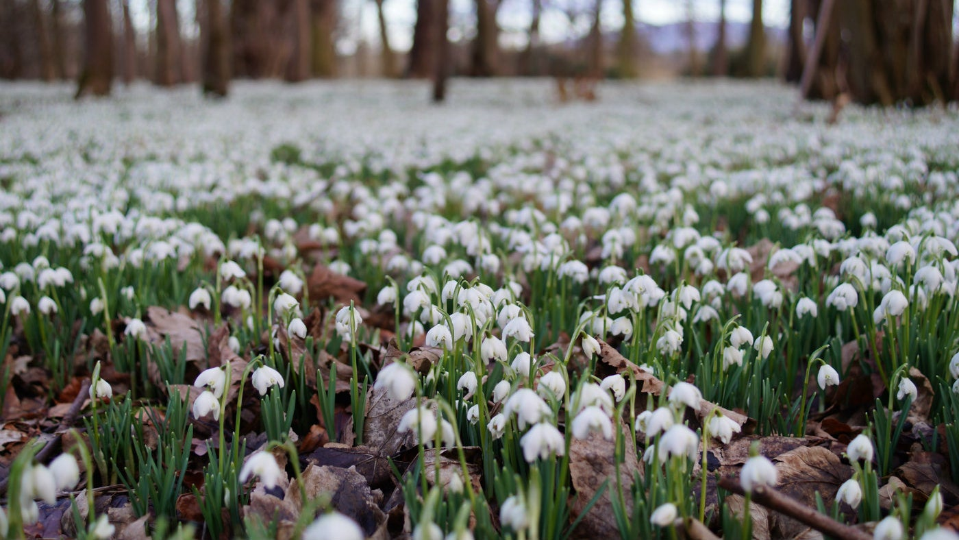 A close up of the woodland covered in snowdrops