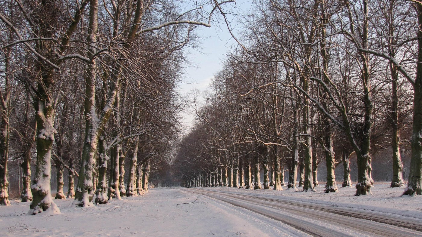 Lime Tree Avenue in Winter